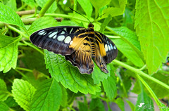 Clipper brun 03 (Jean-Daniel David) Tags: nature papillon insecte insectevolant clipper clipperbrun feuille feuillage vert verdure plante brun noir suisse kerzers chiètres closeup grosplan macro animal fribourg bokeh