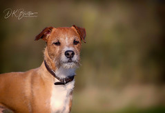 Dexter (dkbristow) Tags: dog pet canine portrait bokeh nikon 70200 nikkor z6 cute friend