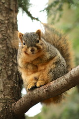 Friendly Fox Squirrel (lenamji) Tags: squirrel squirrels fox eastern smiling animals