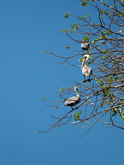 Pelicans (wwarby) Tags: centralamerica costarica abroad animal bird branches holiday holiday2018costarica leaf outdoors pelican plant tree vacation wild wildlife