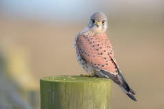 'Well, hello there..' (benstaceyphotography) Tags: falcotinnunculus male kestrel raptor birdofprey bird heathland benstacey wildlife nature falcon nikonuk