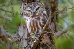 Saw-whet Surprise (PhillymanPete) Tags: wildlife winter camouflage juniper northernsawwhet tree nature bird birdsofprey sawwhet raptor perch branches owl aegoliusacadicus nikon d800e