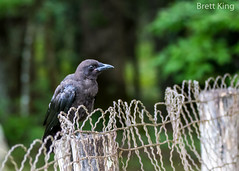 Watching Over a Cemetary at Cades Cove (dbking2162) Tags: cades cove wildlife nature nationalgeographic nationalparks greatsmokymountainnationalpark birds bird