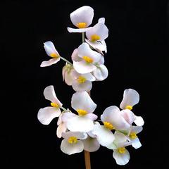 2019-01-22 Begonia hydrocotylifolia - BG Teplice (beranekp) Tags: czech teplice teplitz botanik botany botanic herbarium herbary herbář garden garten flora flower plant begonia
