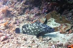 Epinephelus coeruleopunctatus (kmlk2000) Tags: maldives vacation sea ocean sealife sun blue underwater fish poisson beach reef