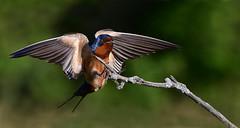 BarnSwallowLanding2 (Rich Mayer Photography) Tags: barn swallow swallows nature bird birds fly flying landing flight wild life wildlife animal animals nikon