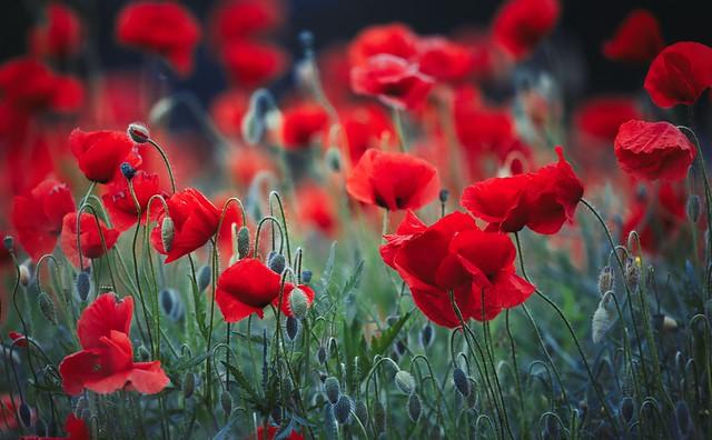 Обои цветы, природа, маки картинки на рабочий стол, раздел цветы - скачать