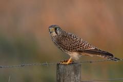 Kestrel - Falco tinnunculus (colinstone1) Tags: f4500lens sunset wild burwellfen nikond500