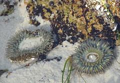 Tentacles out (afagen) Tags: california pacificgrove asilomarstatebeach montereypeninsula asilomar beach pacificocean ocean tidepool giantgreenanemones anemone