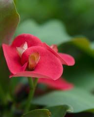 Euphorbia (mamantyoko) Tags: flowers sigma euphorbia garden macro bokeh