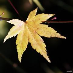 L'épreuve de l'automne (Un jour en France) Tags: automne feuille acer acerjaponico canoneos6dmarkii ef100mmf28macrousm