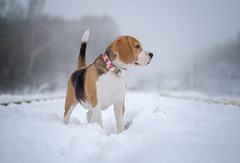 dog Beagle (androsoff) Tags: beagle dog pet animal snow winter park snowflakes fog humidity white nature forest trees portrait mammal hunter purebred collar brown black xt3 fuji
