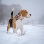dog Beagle thumbnail