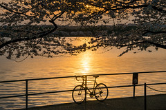 DC Sunset (Kevin Kasmai) Tags: sunset washington dc bicycle trees water orange tidal basin silhouette railing cherry blossom blossoms warm glow reflection america capital travel tourist destination photography tourism