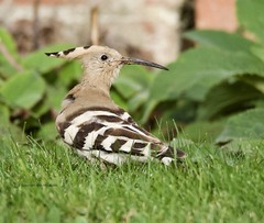 Hoopoe (Alan McCluskie) Tags: hoopoe eurasianhoopoe rarebird wiltshirewildlife birds aves oiseau canon7dmk2 sigma150600mmsp