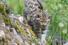 "Wildcat kitten getting down the ""hill"" (Tambako the Jaguar) Tags: wildcat feline kitten baby young cute portrait walking down mound hill grass vegetation careful tierparkgoldau zoo goldau switzerland nikon d5"