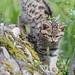 Wildcat kitten getting down the