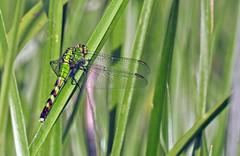 Eastern Pondhawk ♀ - Érythème des étangs ♀ - Erythemis simplicicollis (P9_DSCN8992-1PE-20180810) (Michel Sansfacon) Tags: dragonfly libellule nikoncoolpixp900 parcnationaldesîlesdeboucherville parcsquébec faune