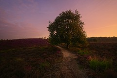 Mystical tree (l.cutolo) Tags: hills on1raw sonya7iii silkycould purple flickr blue netherlands dutchlandscape aperture ngc trakking longexposure lights calm tlp worldtrekker countryside hdr sony scape arnhem posbank sunrise path lucacutolo landscape purpleheather bluehours sonyfe1635mmf28gm