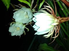 Night Queen Flower (orbitofsaturn) Tags: night queen flower