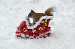 The New Grinch (DaPuglet) Tags: squirrel squirrels animal animals redsquirrel red christmas grinch sled peanuts snow winter nature wildlife cute funny comedy parody drseuss specanimal coth5