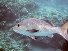Twinspot Snapper (Chalto!) Tags: 2018 africa corayabay egypt marsaalam redsea coralreef fish reef sea snorkeling snorkelling swimming underwater snapper twinspotsnapper redsnapper