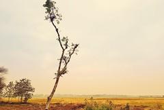 Deforestation (rajib045) Tags: nature landscape trees tree bangladesh magura samsung samsungs8plus field desolate
