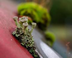 Meep Meep (dsgetch) Tags: alien tinyalien moss lichen bokeh depthoffield dof shallowdepthoffield cascadia pnw pacificnorthwest pnwlife oregon willamettevalley lanecounty eugene mybackyard mydriveway