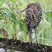 Rufescent Tiger-Heron, Tigrisoma lineatum Ascanio_Panama 199A7754