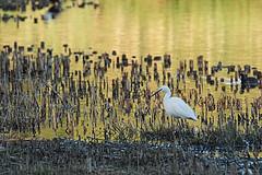 DSC07126A (simonbalk523) Tags: heron birds wildlife wild warnham nature reserve horsham sony photography tamron