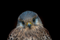 ❤️ Common kestrel (Falco tinnunculus) ❤️ (Torok_Bea) Tags: ❤️ commonkestrel falcotinnunculus vörösvércse birds bird portrait nikon nikond7200 natur nature lovely cute love vércse lovelyboy