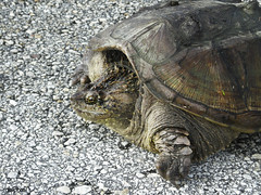 A rare photo of a Florida snapping turtle out in the open on Beach Road, near NASA's Kennedy Space Center. Original from NASA . Digitally enhanced by rawpixel. (Free Public Domain Illustrations by rawpixel) Tags: animal beachroad climatechange environment environmentalconservation forest geography globalwarming jungle name nature pdnasa photography publicdomain sea snappingturtle turtle wild wildlife