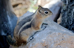 Golden-mantled Ground Squirrel (Spermophilus lateralis); Santa Fe National Forest, NM, Thompson Ridge [Lou Feltz] (deserttoad) Tags: nature newmexico animal rodent mammal fauna squirrel groundsquirrel behavior nationalforest mountain