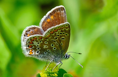 Common Blue - Polyommatus icarus (normanwest4tography) Tags: commonblue