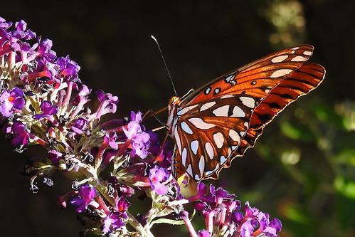 Rowlett - Gulf Fritillary Butterfly