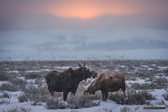 Moose at Sunrise (kevin-palmer) Tags: december winter snow snowy morning nikond750 nikon180mmf28 telephoto grandteton nationalpark grandtetonnationalpark jackson snowing storm cloudy sunrise orange sky moose animals wildlife mother cow calf sagebrush two cold sleepingindianoverlook