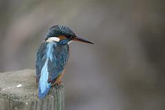 Alcedo atthis (Francesc //*//) Tags: au animal ave flix alcedoatthis blauet blavet commonkingfisher martínpescador martinpêcheurdeurope bird pájaro ocell oiseau