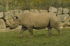 Black Rhino (CoasterMadMatt) Tags: flamingoland2018 flaminglandresort2018 flamingoland flamingolandresort flamingo land resort themepark amusementpark theme amusement park parks englishthemeparks themeparksinengland flamingolandzoo2018 flamingolandzoo zoo zoos englishzoos animalpark animalparks animal animals enclosure enclosures easternblackrhinoceros easternblackrhino eastern black rhinoceros rhino dicerosbicornismichaeli attraction attractions kirbymisperton kirby misperton yorkshire yorks yorkshirehumber yorkshireandhumber england britain greatbritain great gb unitedkingdom united kingdom uk europe october2018 autumn2018 october autumn 2018 coastermadmattphotography coastermadmatt photos photographs photography nikond3200