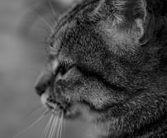 Mirada gatuna (helenabalbas) Tags: nikon d5600 gato cat pet animal animals blanco y negro blackandwhite white bw blacoynegro rayas pelo mono