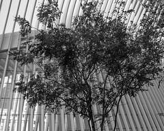 Tree in front of the Oculus (Zach K) Tags: tree nature photographry oculus calatrava world trade center nyc new york city lower manhattan path port authority train station transit manmade structure black white bw monochrome fujifilm x100f wclx100 acros