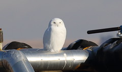 Snowy Owl  4982 (robenglish64) Tags: snowyowl