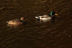 IMG_4722 (monika.carrie) Tags: monikacarrie wildlife scotland seatonpark