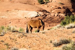 Meal Interrupted (ericw43) Tags: mysteryvalley monumentvalley southwest desert navajo arizona wild horse