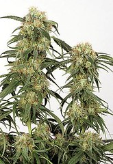 Unknown (Watcher1999) Tags: pamir gold feminized marijuana seeds cannabis indica sativa medical strain growing plant weed smoking weeds ganja legalize it