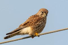 Common Kestrel - Falco tinnunculus (angus molyneux) Tags: falcotinnunculus kestrel cambs holmefennnr greatfen juvenile