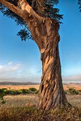 20140621_gnarly_tree (petamini_pix) Tags: pointreyes marincounty marin california nationalseashore pierceranch tree trunk gnarly hdr plant outdoor