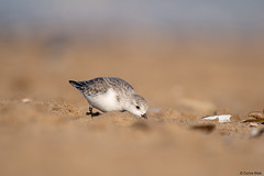 Sanderling (Corine Bliek) Tags: vogel vogels bird birds wildlife natuur beach strand zee sea migrant trekvogels migratory doortrekker shorebirds kustvogels strandlopers water winter calidrisalba zand sand