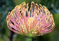 Protea (Alan1954) Tags: flower nature protea kirstenbosch holiday 2018 southafrica capetown