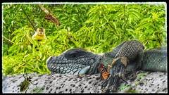 Iguana - Pantanal Illusion (sileneandrade10) Tags: sileneandrade iguana iguanaiguana pantanal photoedition photoart playphoto réptil animal artnature picsart floresta nikoncoolpixp900 nikon natureza camuflagem verde árvore