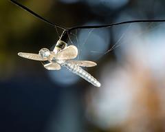 Backyard Bokeh (dsgetch) Tags: backyard mybackyard backyardbokeh depthoffield dof cascadia pacificnorthwest pnw pnwlife oregon willamettevalley lanecounty eugeneoregon solarlight solarpower dragonfly solardragonfly web spiderweb cobweb